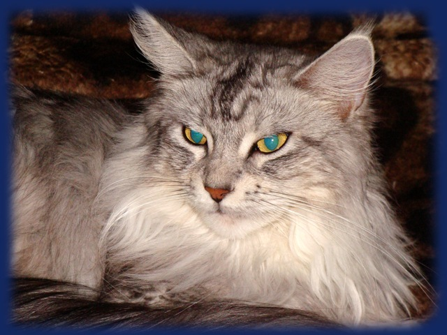 Порода кошек мэйкун - Домашние питомцы.